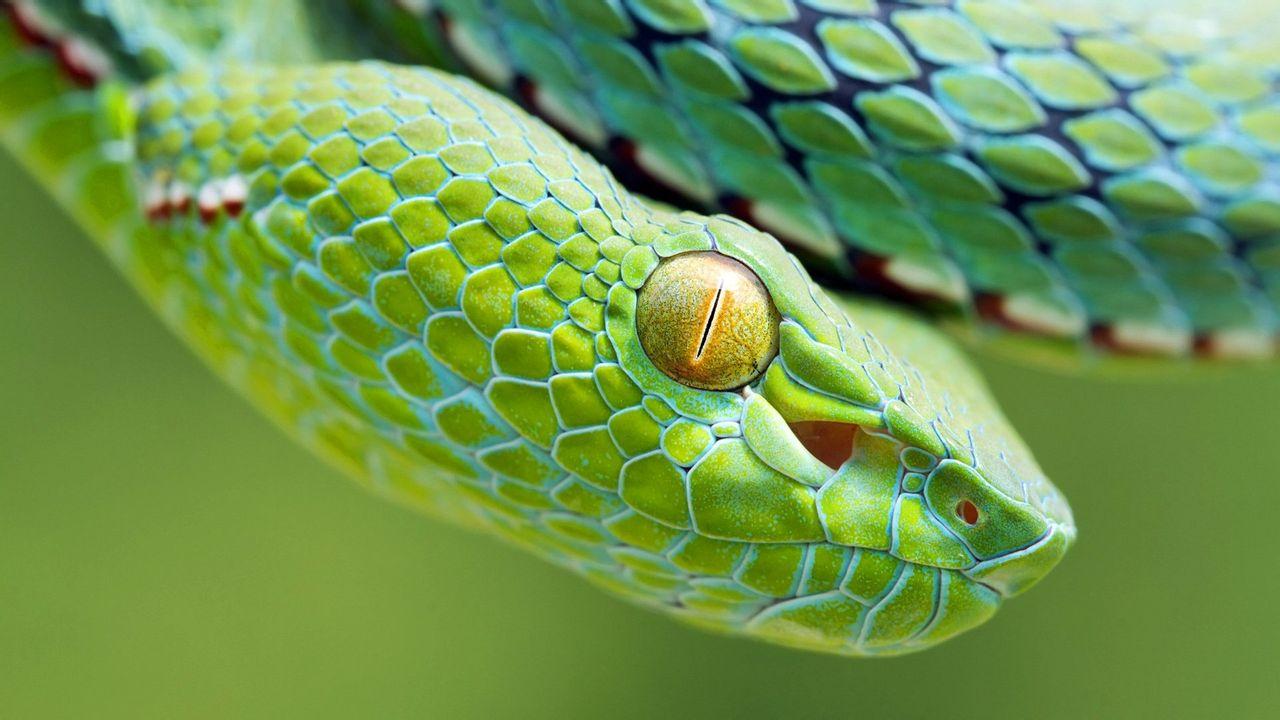 高清晰绿色蝰蛇壁纸 高清图片