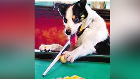 会玩台球的狗狗,你见过吗?