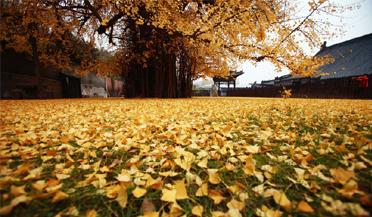 绝美!西安银杏千年古树火到国外