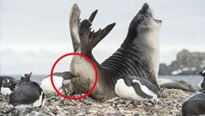 海豹闯企鹅领地被啄屁股