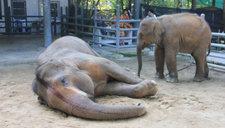 泰国一大象遭蜂群攻击致死 被蛰超过100次