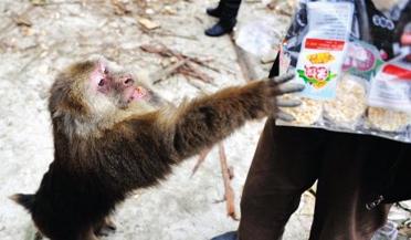 实拍猴子讨食遭扔炮仗鲜血淋漓图片