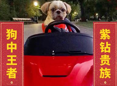 震惊!狗狗收藏几十辆豪车