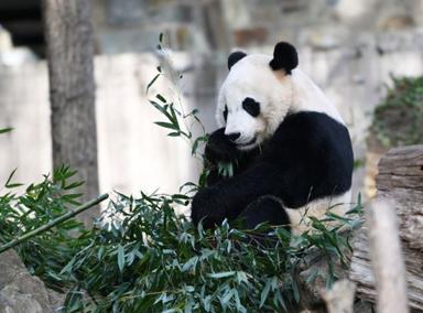旅美大熊猫贝贝年满四岁回家