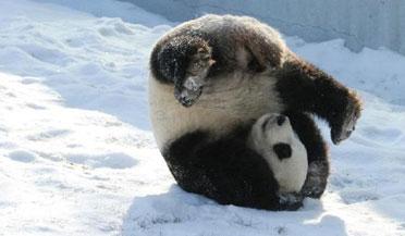 四川熊猫初次见到沈阳大雪懵圈了