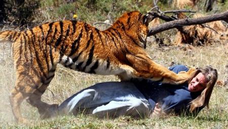 老虎失控咬住驯兽员不放