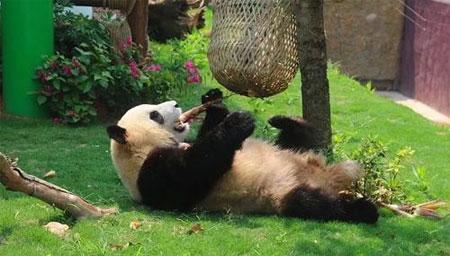 四川大熊猫后腿被卡还吃竹笋