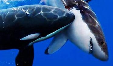 恐怖直击!大白鲨大口吞食鲸鱼尸体