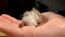 仓鼠宝宝可爱打鼾 这是史上最萌的打鼾声