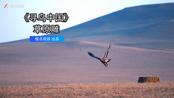 《寻鸟中国》第一集:猛禽草原雕