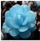 多肉植物蓝宝石
