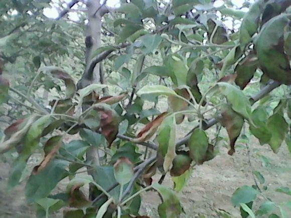 苹果树叶子边缘干枯
