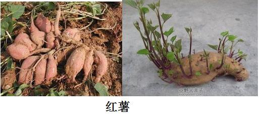 泡根繁殖的植物有哪些
