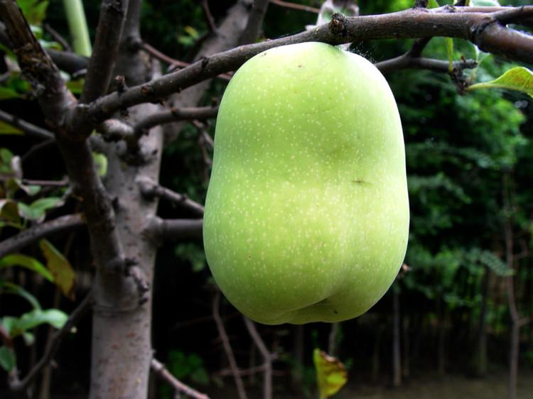 请问这是什么品种的海棠结的果子 可以吃吗? 哪位 ...