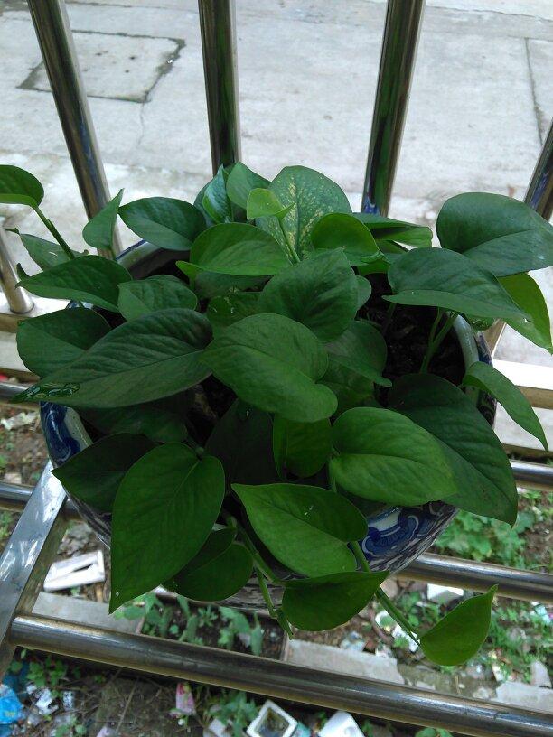 绿萝一盆栽几颗才茂盛