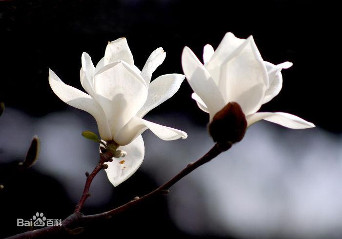 广玉兰花的生长过程