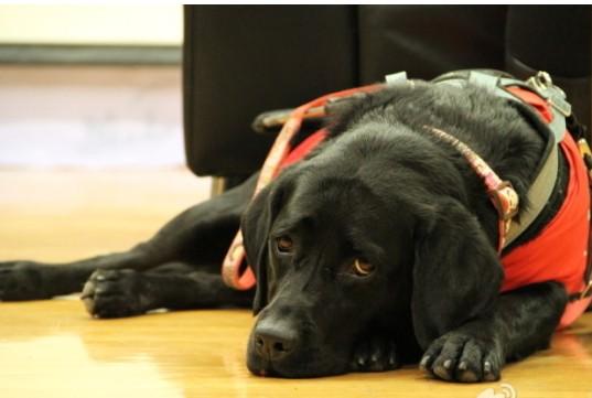 北京导盲犬训练基地