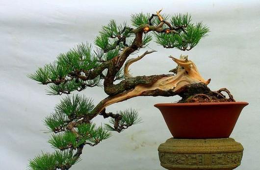 适合做盆景的松树