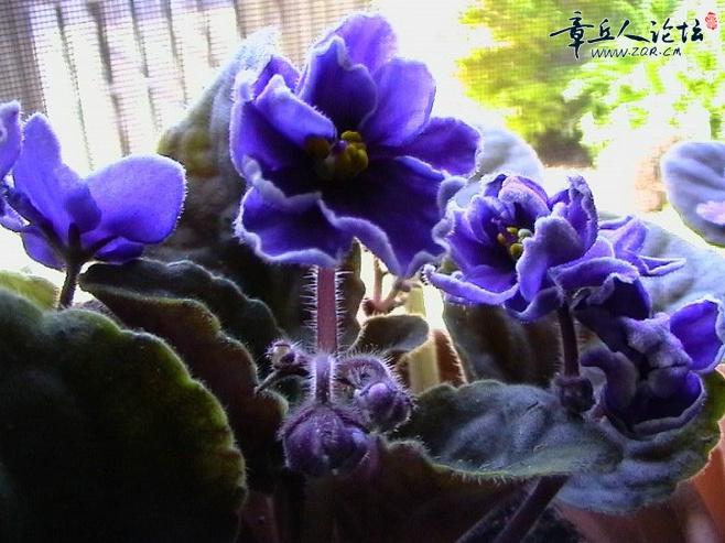 紫色银莲花