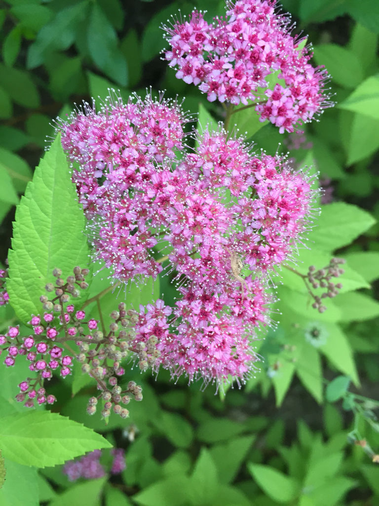 五瓣,细长,花不大,花瓣展开,黄色花蕊挺立,花苞像茉莉,味道很香,长在
