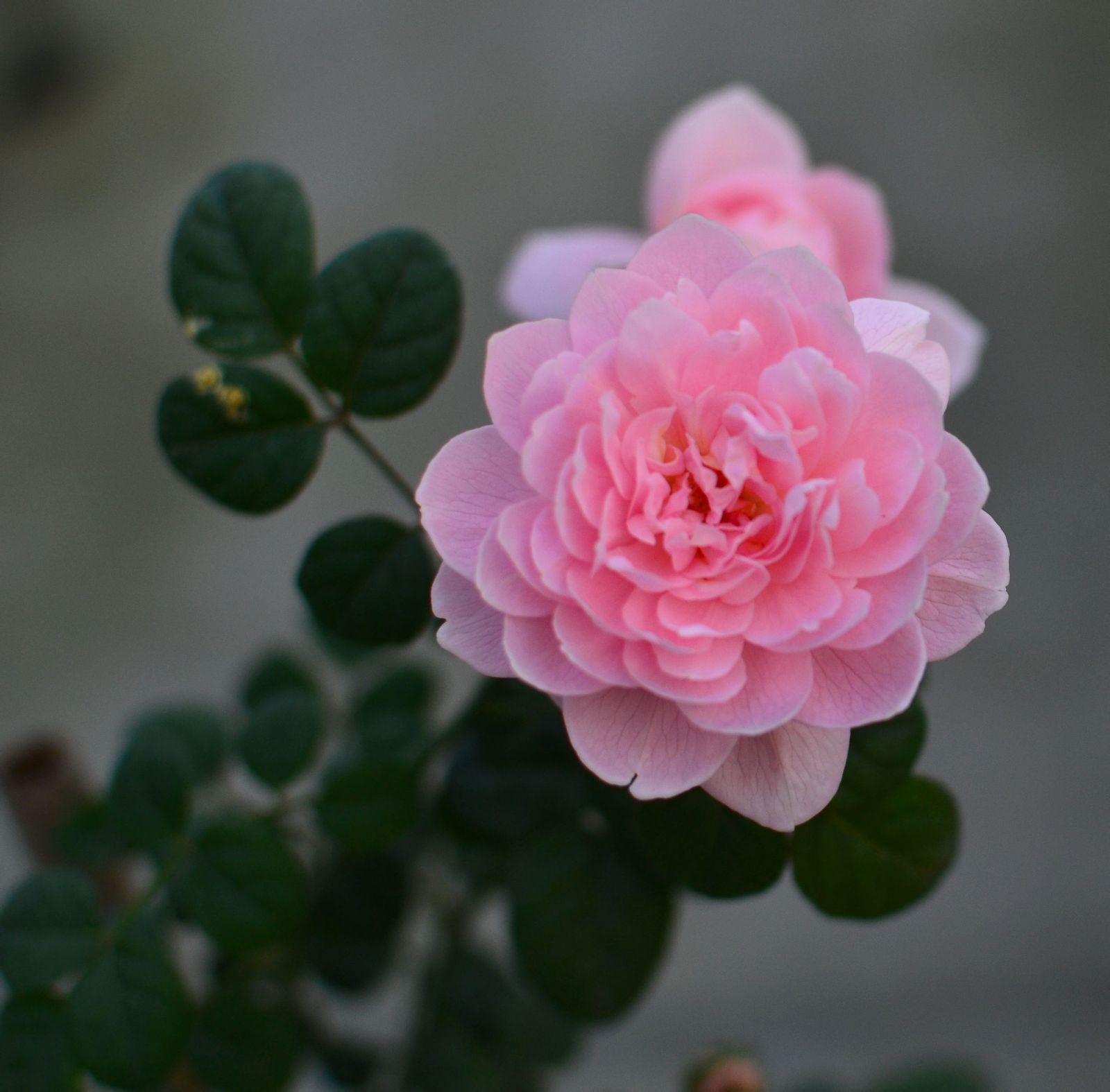 伊芙粉红月季