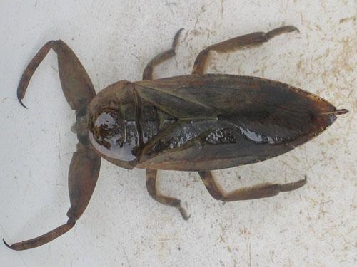 找一种【可食用】虫子的名字,本地叫水爬别_百度 ...