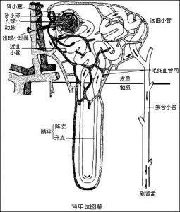 肾小囊壁层图片