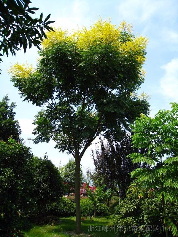 夏季开花的行道树