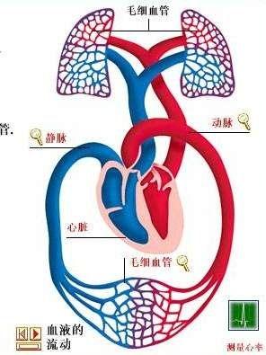 一滴血流经全身一次,进入心脏的次数共有图片