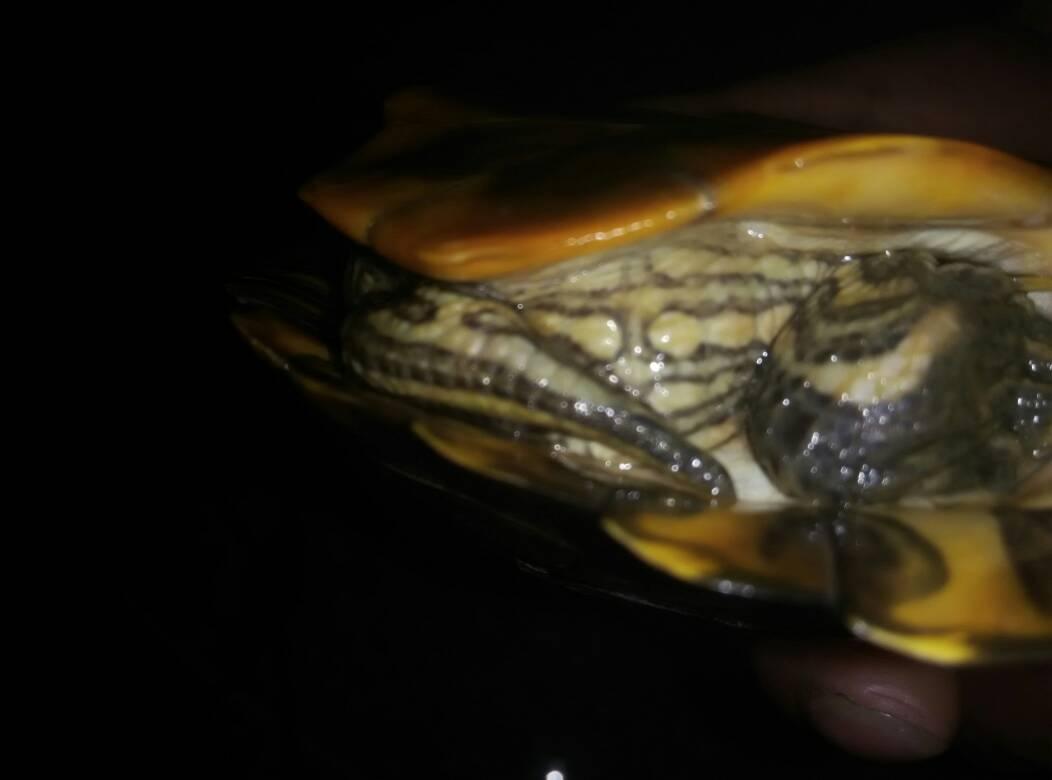 巴西红耳龟怎么分公母图片