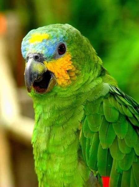 青�9/&�b�K��X��R��S����_青绿顶亚马逊鹦鹉的分布范围