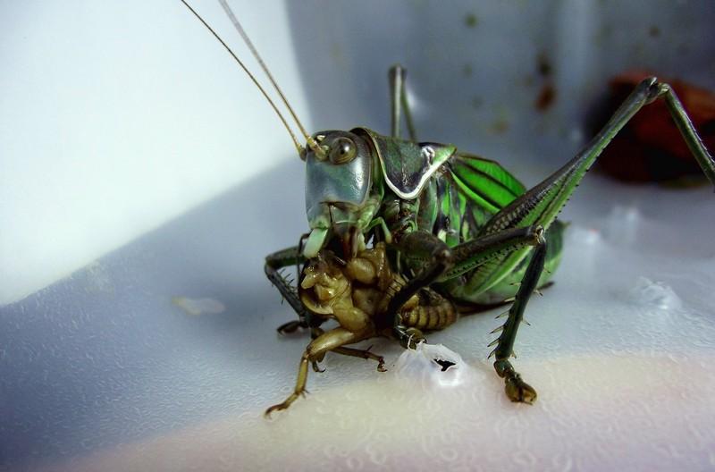 北京五德堂斗蟋蟀纪实 2016地蟋蟀 蟋蟀和蝈蝈的区别