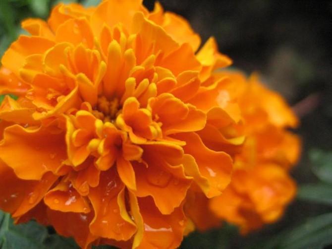 万寿菊叶黄素含量