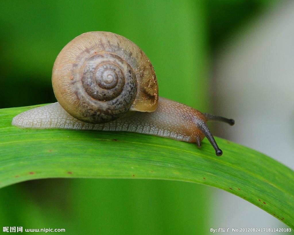 刚抓到蜗牛小尾灯,我怕是那种带血吸虫的两个,不分辨,谁帮看看是捷达苍蝇有田螺图片
