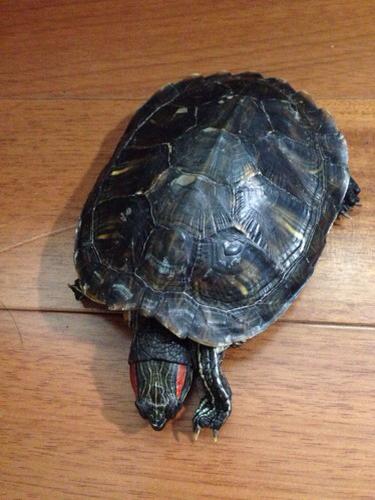 请问我的宠物乌龟要冬眠到什么时候才吃东西呢 我们这里是广东南部,