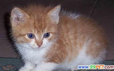 黄条纹的猫是什么品种