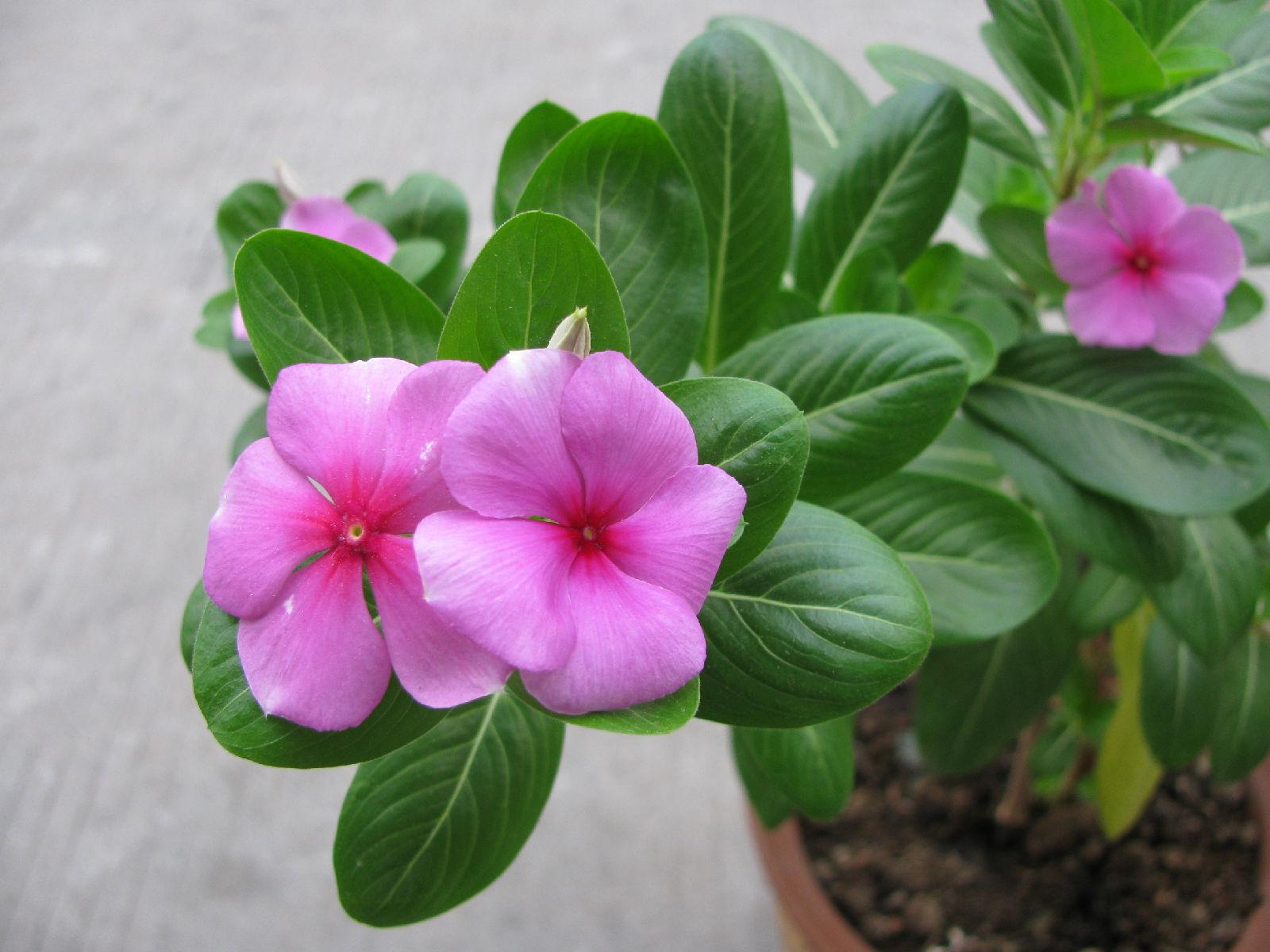 天天开花怎么养殖方法
