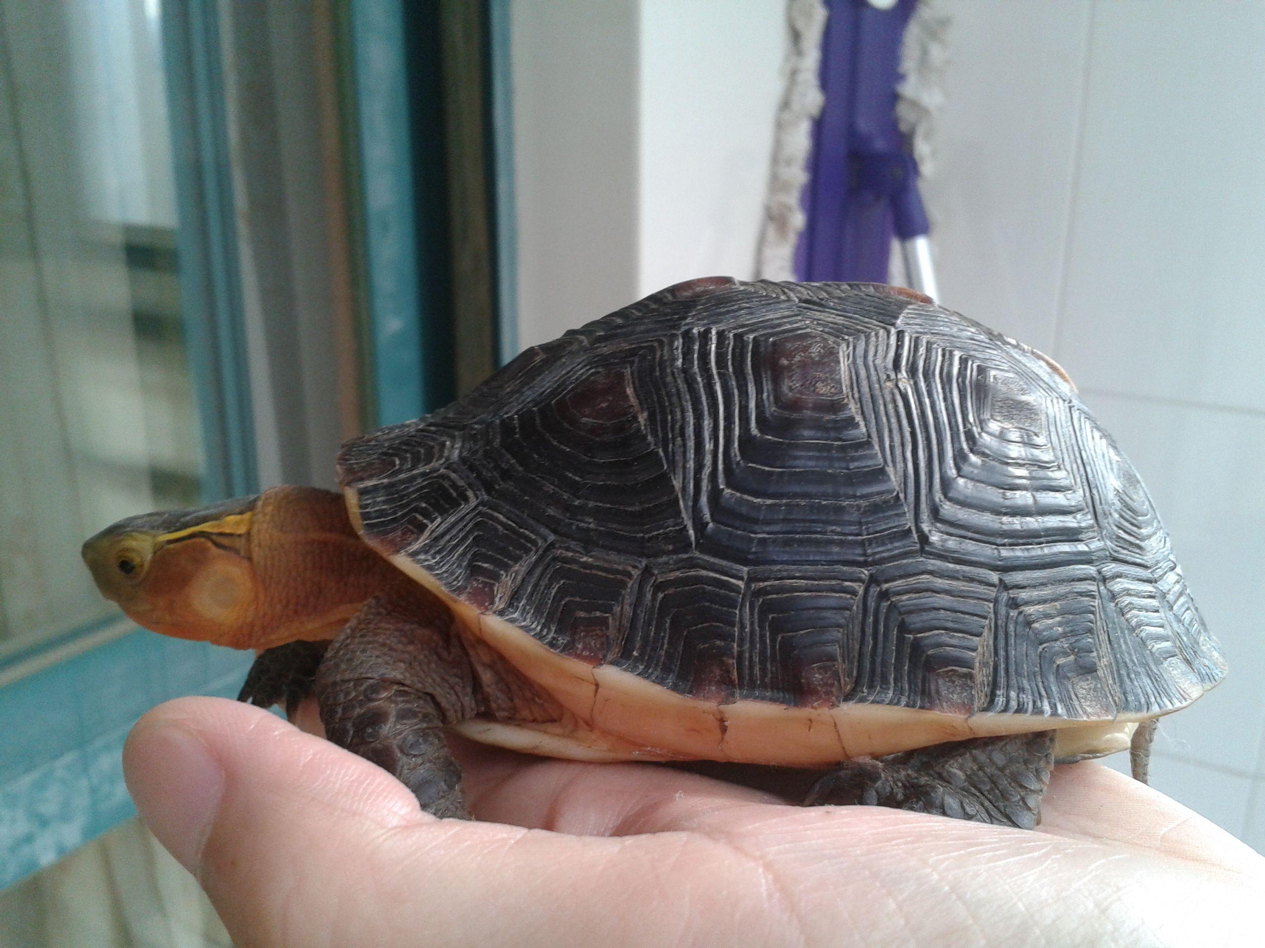 黄缘_转让一对黄缘种龟