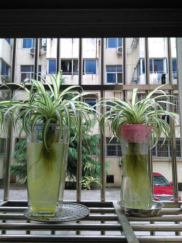 密叶朱蕉水培方法