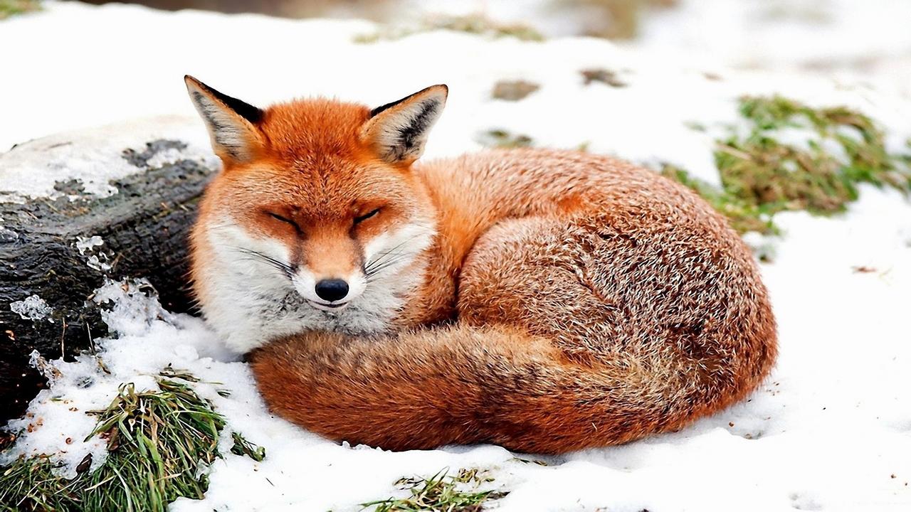 关于狐狸的壁纸