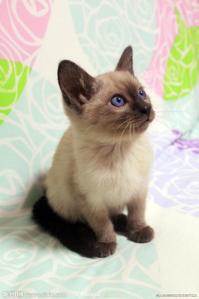 暹罗猫几个月算成年