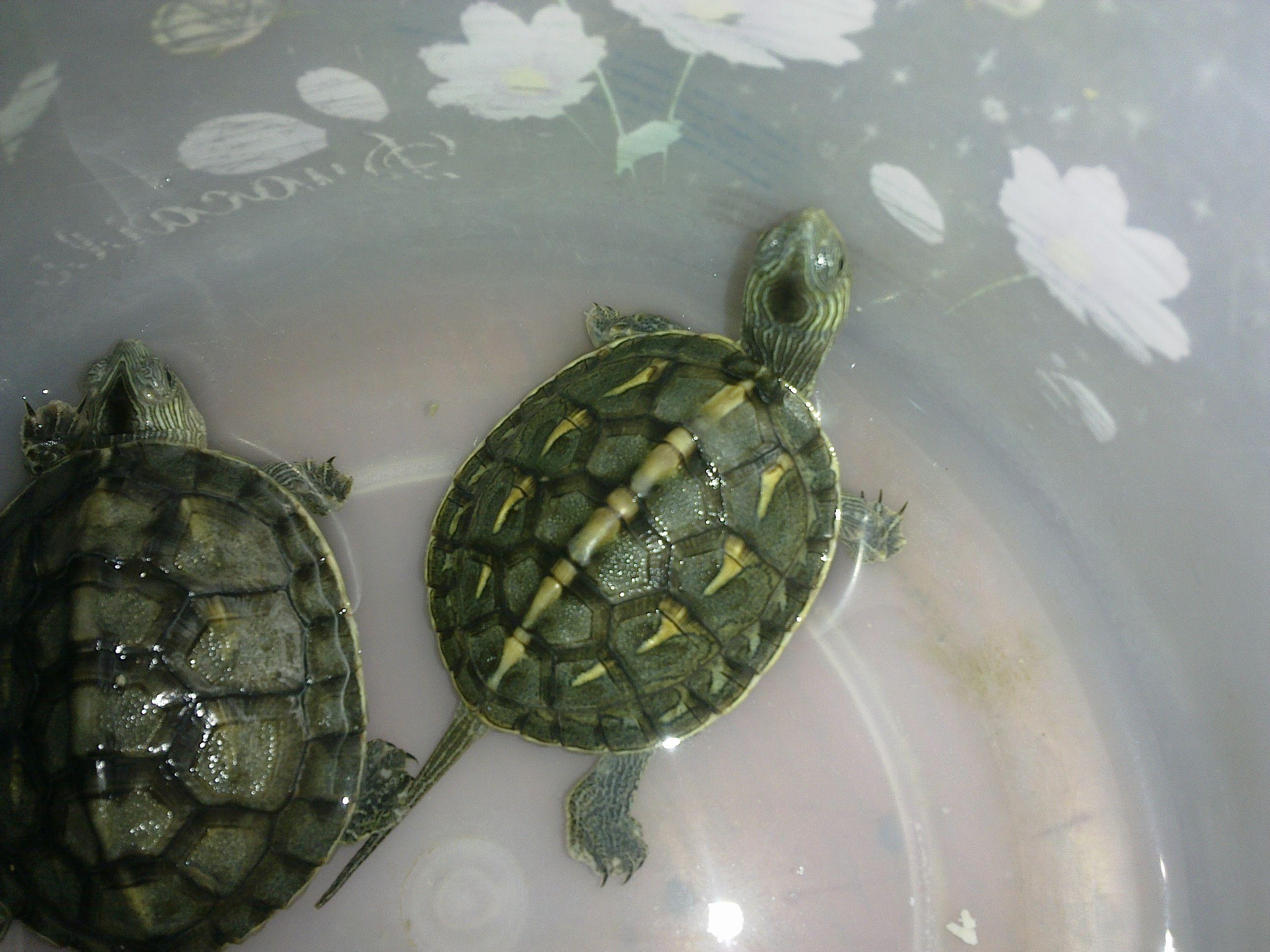 梦见养的乌龟逃走了