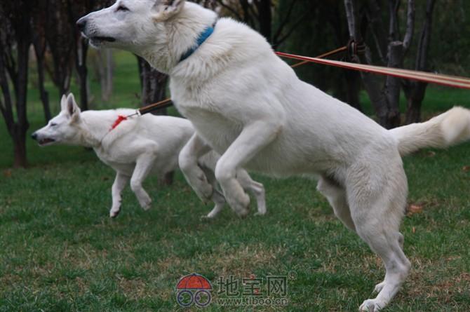 白色牧羊犬吃什么食物