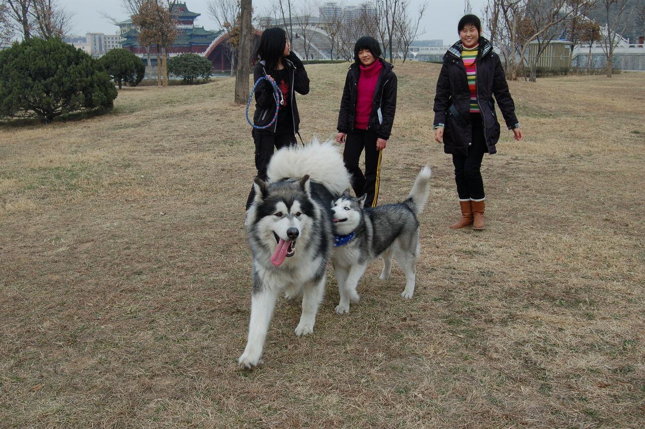 哈士奇和阿拉斯加小狗
