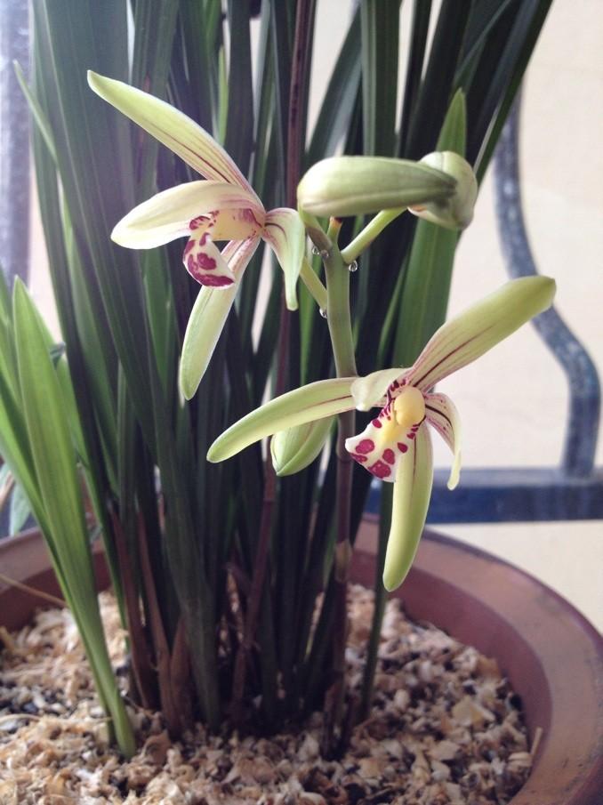 桌面兰花品种价格图片 兰花品种名称及图片 兰花品种名称及图片