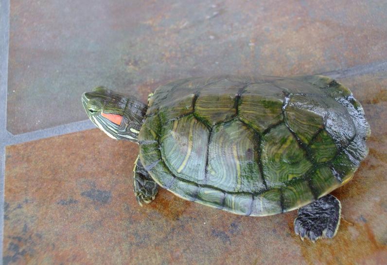 巴西红耳龟怎么分公母 巴西红耳龟怎么看年龄 巴西红耳龟对人的危害 图片