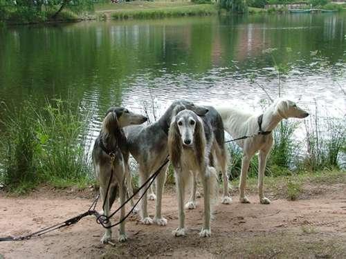 陕西细犬多少钱