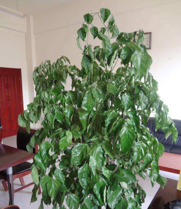软是怎么回事_幸福树树枝变软 树枝耷拉 是怎么回事?