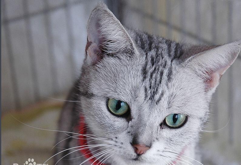 美国短毛猫有什么颜色