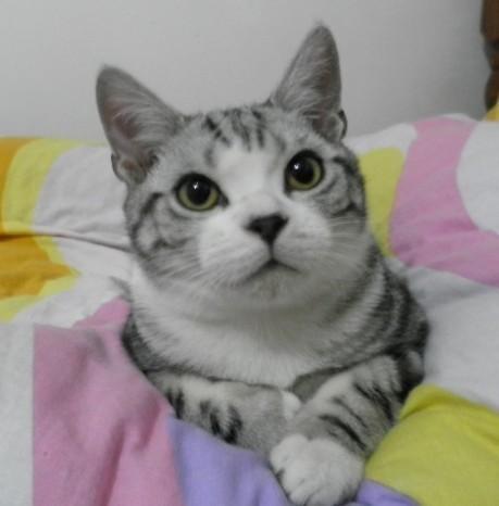 美国短毛猫的一种花色